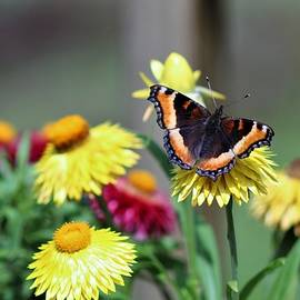 Milbert's Tortoiseshell Butterfly by Carol McGrath