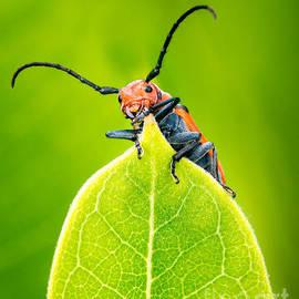 Abeselom Zerit - Milkweed Beetle