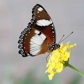 Mimic Eggfly Butterfly by Judy Whitton