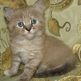 Mink Lynx Kitten Mini Mountain Lion Look Alike SilkTapestryKittensTM by Pamela Benham