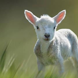 Veli Bariskan - Minnie the Spring Lamb