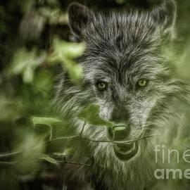 Brad Allen Fine Art - Mischievous Wolf