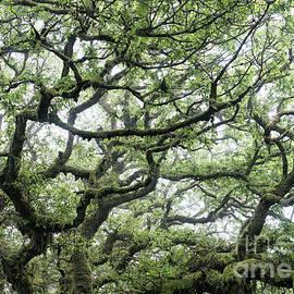 Misty Ancient Oak - Tim Gainey