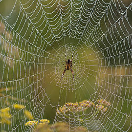 Misty Dewdrop Web by Clare Bambers