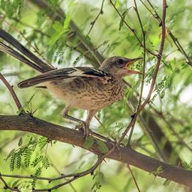 Tam Ryan - Mockingbird Juvenile