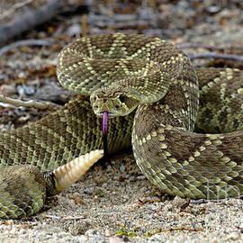 Mohave Green Rattlesnake Striking Position 3 by Bob Christopher