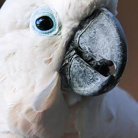Sharon Mau - Moluccan Cockatoo Cacatua moluccensis