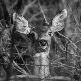 Momma Mule Deer by Michael Osborne