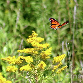 Monarch And Goldenrod by The Art of Alice Terrill