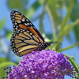 Monarch at Work by Lyuba Filatova