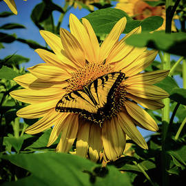 Male Eastern Tiger Swallowtail - Papilio Glaucus And Sunflower by Louis Dallara