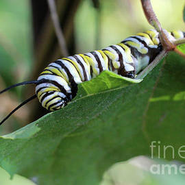 Adam Long - Monarch Butterfly Caterpillar eating milkweed leaf