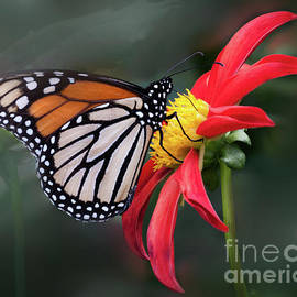 Ann Jacobson - Monarch  Butterfly Enjoying a Dahlia