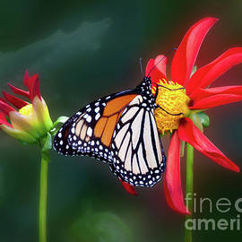 Ann Jacobson - Monarch Butterfly Feasting on Dahlia