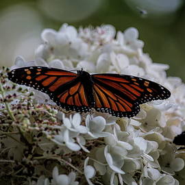 Dale Kauzlaric - Monarch Butterfly Feeding On Hydrangea Tree