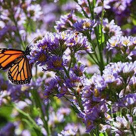 Jeff Breiman - Monarch Butterfly