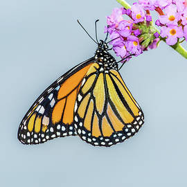 Marv Vandehey - Monarch Butterfly on Flower Cluster