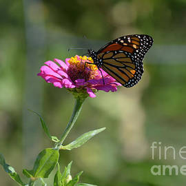 Monarch Butterfly on Zinnia  by Ruth  Housley