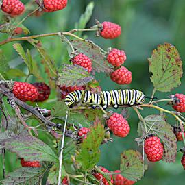 Ally  White - Monarch Caterpillar on Blackberries
