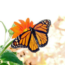Monarch by Mary Halpin