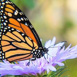 Monarch on Aster by Mary Ann Artz