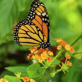 Monarch On Lantana by Jennifer White