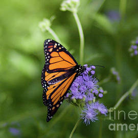 Monarch On Purple Flower by Julia Rigler