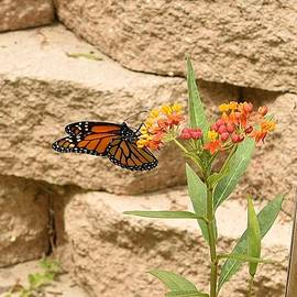 Monarch on Small Wildflower Cluster by Linda Brody