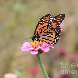 Monarch On Zinnia by Robin Maria Pedrero