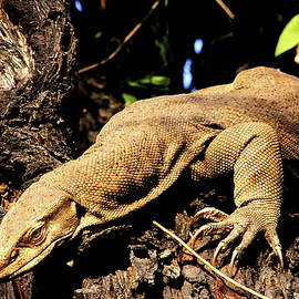 Manjot Singh Sachdeva - Monitor lizard