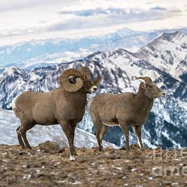 Wildlife Fine Art - Montana Bighorn Sheep
