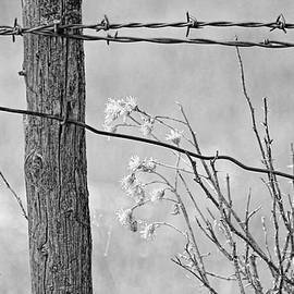 Jennie Marie Schell - Montana Rustic Fence and Weeds Black and White