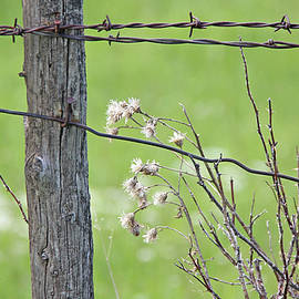 Montana Rustic Fence and Weeds  by Jennie Marie Schell