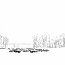 Montana Winter's Cattle  by Jennie Marie Schell