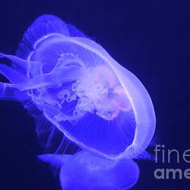 Gary Gingrich Galleries - Moon Jellyfish-9647