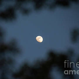 Moon Through The Trees by Sharon McConnell