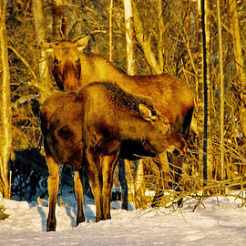 Moose in the Morning