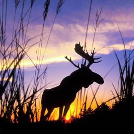 Moose Silhouette - Sean Davey