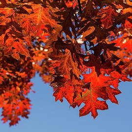 More Than Fifty Shades Of Red - Glossy Leathery Oak Leaves in the Sunshine - Downward by Georgia Mizuleva