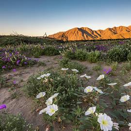 Scott Cunningham - Morning Desert Evening Primrose