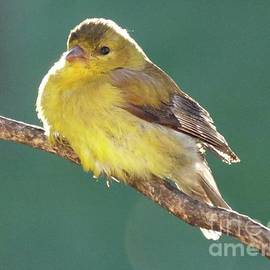 Cindy Treger - Morning Glow - American Goldfinch