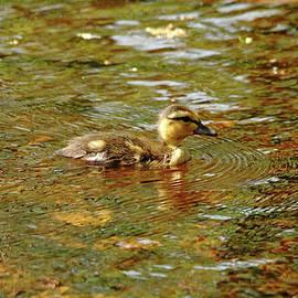 Debbie Oppermann - Morning Light Duckling