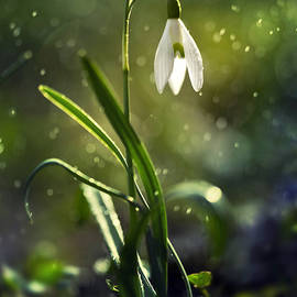 Morning snowdrops by Jaroslaw Blaminsky