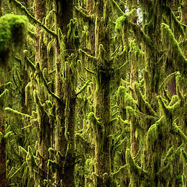 Pelo Blanco Photo - Moss Covered Trees