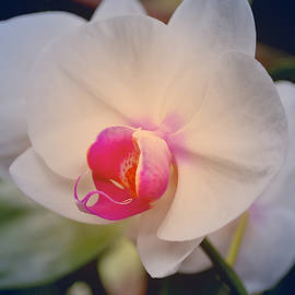 Moth Orchid 1 by Kate Word