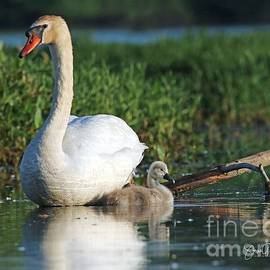 Steve Gass - Mother Mute Swan With Single Cygnet