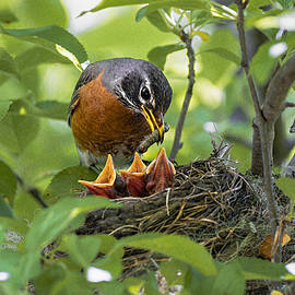Mother Robin Feeding Her Young by Marty Saccone