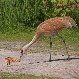 Mother Sandhill Crane Feeding Baby by Peggy Collins