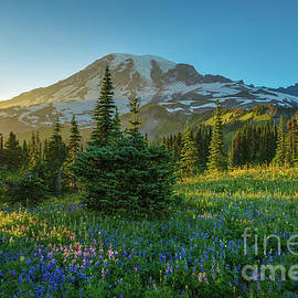 Mount Rainier Golden Wildflowers Meadows Sunlit - Mike Reid