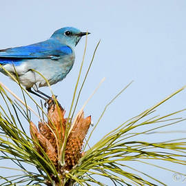Mountain Bluebird by Albert Seger